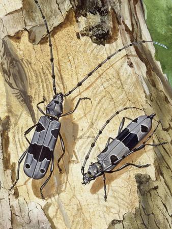 Rosalia Longicorn (Rosalia Alpina), Cerambycidae--Premium Giclee Print