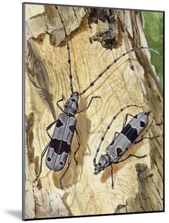 Rosalia Longicorn (Rosalia Alpina), Cerambycidae--Mounted Giclee Print