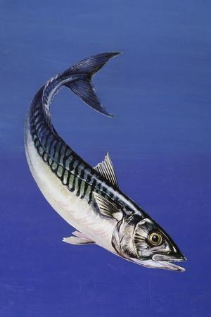 Mackerel (Scomber Scombrus), Scombridae, Drawing--Stretched Canvas Print