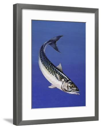 Mackerel (Scomber Scombrus), Scombridae, Drawing--Framed Giclee Print
