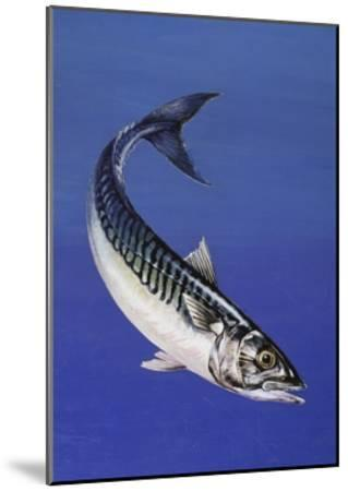 Mackerel (Scomber Scombrus), Scombridae, Drawing--Mounted Giclee Print