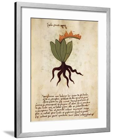 Costmary or Balsam Herb (Tanacetum Balsamita)--Framed Giclee Print