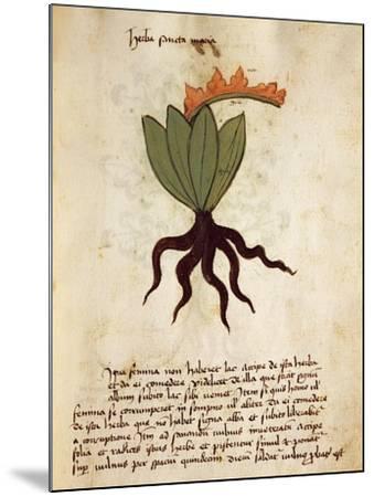 Costmary or Balsam Herb (Tanacetum Balsamita)--Mounted Giclee Print