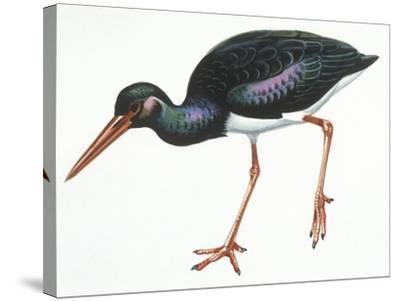 Birds: Ciconiiformes, Black Stork (Ciconia Nigra)--Stretched Canvas Print