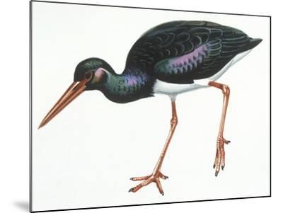 Birds: Ciconiiformes, Black Stork (Ciconia Nigra)--Mounted Giclee Print