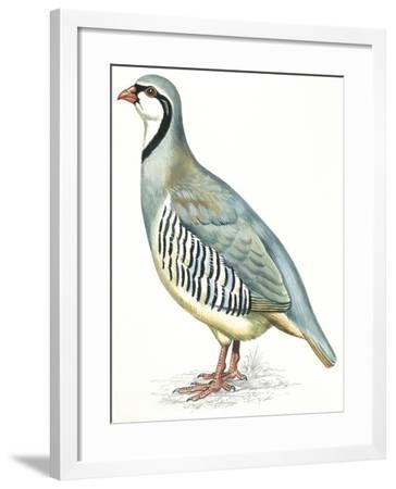 Birds: Galliformes, Rock Partridge (Alectoris Graeca)--Framed Giclee Print