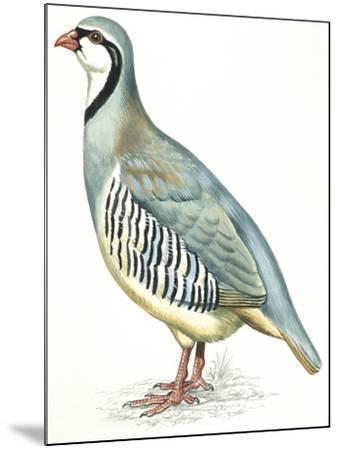 Birds: Galliformes, Rock Partridge (Alectoris Graeca)--Mounted Giclee Print