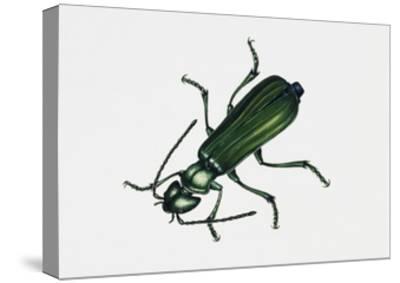 Spanishfly (Lytta Vesicatoria), Meloidae, Artwork by Rebecca Hardy--Stretched Canvas Print