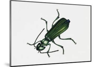 Spanishfly (Lytta Vesicatoria), Meloidae, Artwork by Rebecca Hardy--Mounted Giclee Print
