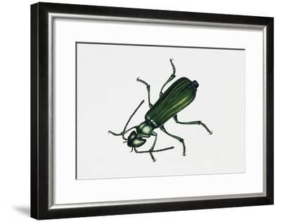 Spanishfly (Lytta Vesicatoria), Meloidae, Artwork by Rebecca Hardy--Framed Giclee Print