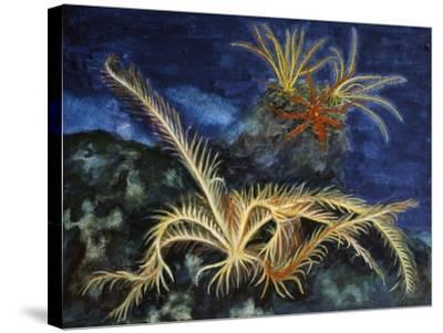 Rosy Feather Star (Antedon Bifida), Antedonidae, Drawing--Stretched Canvas Print