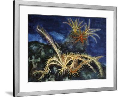 Rosy Feather Star (Antedon Bifida), Antedonidae, Drawing--Framed Giclee Print