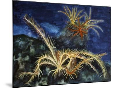 Rosy Feather Star (Antedon Bifida), Antedonidae, Drawing--Mounted Giclee Print