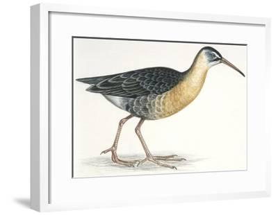 Birds: Gruiformes, Water Rail (Rallus Aquaticus)--Framed Giclee Print