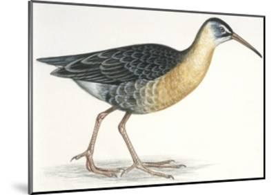 Birds: Gruiformes, Water Rail (Rallus Aquaticus)--Mounted Giclee Print