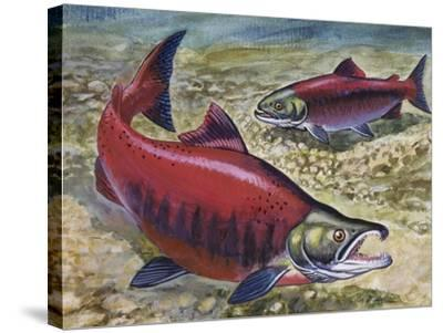 Sockeye Salmon or Red Salmon (Oncorhynchus Nerka), Salmonidae--Stretched Canvas Print