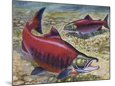 Sockeye Salmon or Red Salmon (Oncorhynchus Nerka), Salmonidae--Mounted Giclee Print
