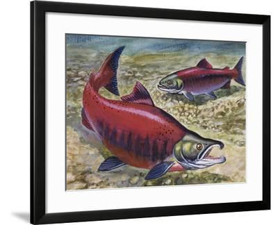Sockeye Salmon or Red Salmon (Oncorhynchus Nerka), Salmonidae--Framed Giclee Print