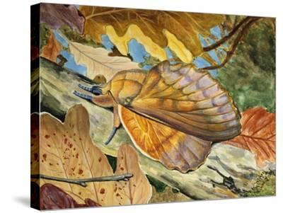 Lappet (Gastropacha Quercifolia), Lasiocampidae--Stretched Canvas Print