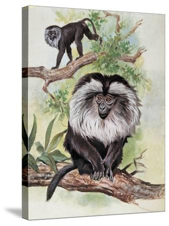 Two Lion-Tailed Macaque on a Tree (Macaca Silenus)--Stretched Canvas Print