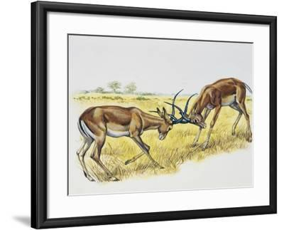 Two Male Impalas Fighting (Aepyceros Melampus), Bovidae, Drawing--Framed Giclee Print