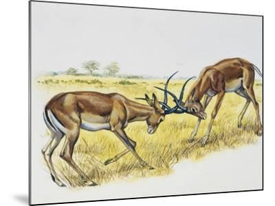 Two Male Impalas Fighting (Aepyceros Melampus), Bovidae, Drawing--Mounted Giclee Print