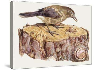 Zoology: Birds, Spotted Nutcracker, (Nucifraga Caryocatactes)--Stretched Canvas Print