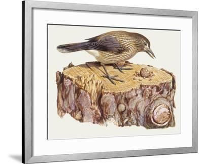 Zoology: Birds, Spotted Nutcracker, (Nucifraga Caryocatactes)--Framed Giclee Print