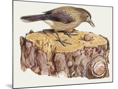 Zoology: Birds, Spotted Nutcracker, (Nucifraga Caryocatactes)--Mounted Giclee Print