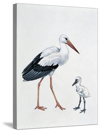 Close-Up of a White Stork with its Young (Ciconia Ciconia)--Stretched Canvas Print