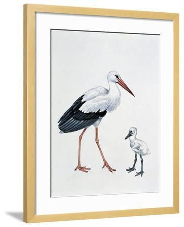 Close-Up of a White Stork with its Young (Ciconia Ciconia)--Framed Giclee Print