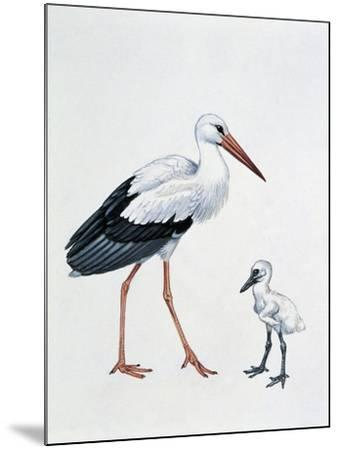 Close-Up of a White Stork with its Young (Ciconia Ciconia)--Mounted Giclee Print