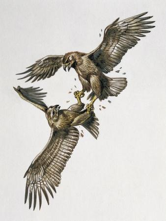 Close-Up of Two Golden Eagles Fighting (Aquila Chrysaetus)--Premium Giclee Print