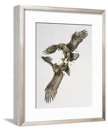 Close-Up of Two Golden Eagles Fighting (Aquila Chrysaetus)--Framed Giclee Print