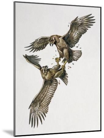 Close-Up of Two Golden Eagles Fighting (Aquila Chrysaetus)--Mounted Giclee Print
