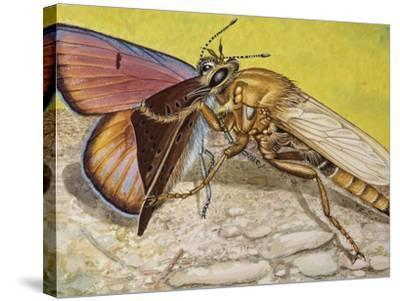 Hornet Robberfly (Asilus Crabroniformis), Asilidae--Stretched Canvas Print