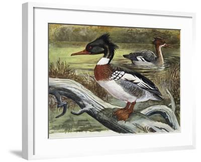 Red-Breasted Merganser (Mergus Serrator), Anatidae--Framed Giclee Print