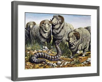 Death Adder (Acanthophis Antarcticus), Elapidae--Framed Giclee Print