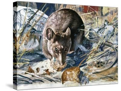 House Mouse (Mus Musculus), Muridae, Drawing--Stretched Canvas Print