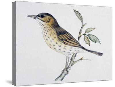 Song Thrush (Turdus Philomelos O Turdus Ericetorum), Turdidae--Stretched Canvas Print