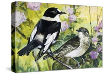 Collared Flycatcher (Ficedula Albicollis), Muscicapidae--Stretched Canvas Print