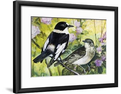 Collared Flycatcher (Ficedula Albicollis), Muscicapidae--Framed Giclee Print