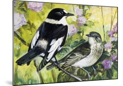 Collared Flycatcher (Ficedula Albicollis), Muscicapidae--Mounted Giclee Print