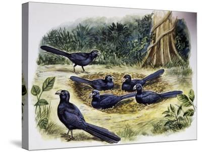 Smooth-Billed Ani Community (Crotophaga Ani), Cuculidae--Stretched Canvas Print