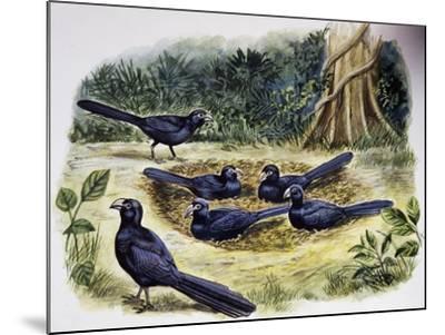 Smooth-Billed Ani Community (Crotophaga Ani), Cuculidae--Mounted Giclee Print