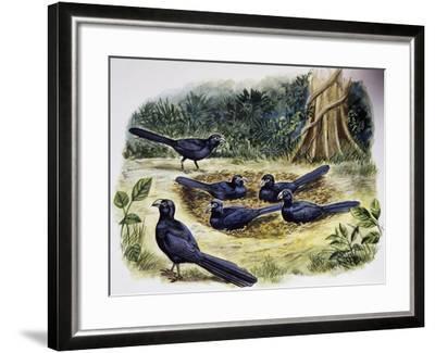 Smooth-Billed Ani Community (Crotophaga Ani), Cuculidae--Framed Giclee Print