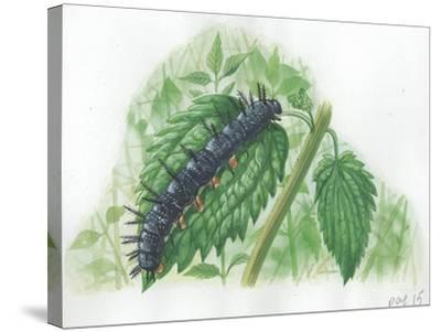 Caterpillar of European Peacock Butterfly Inachis Io--Stretched Canvas Print
