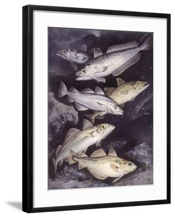 Zoology: Fishes: Gadidae Family, Different Species--Framed Giclee Print