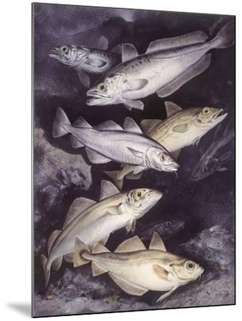 Zoology: Fishes: Gadidae Family, Different Species--Mounted Giclee Print