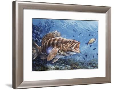 Painted Comber (Serranus Scriba), Serranidae--Framed Giclee Print